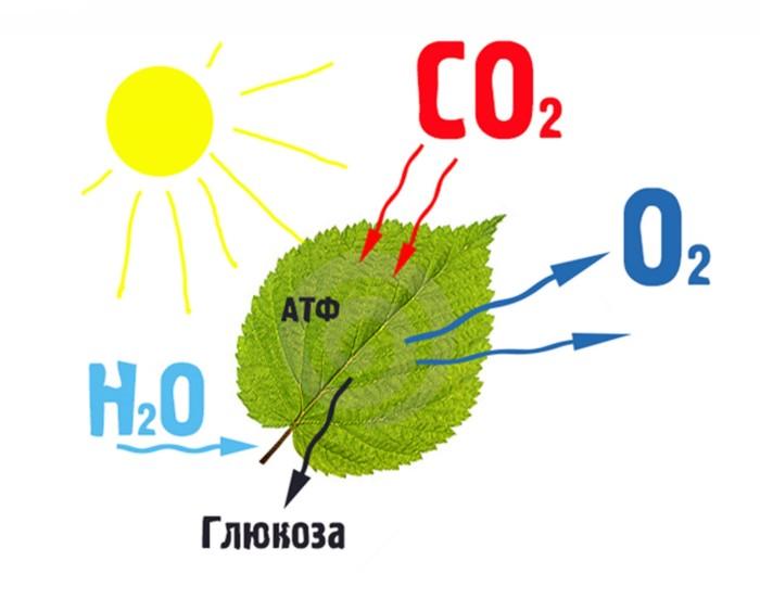Проще всего понять принцип работы сайта можно на примере фотосинтеза
